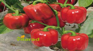 Buy red bell pepper