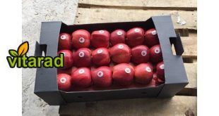 Iranian red delicious apple