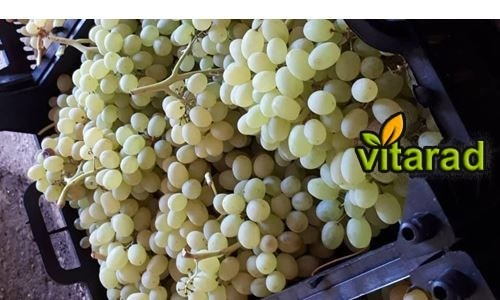 Export of fresh grapes