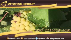 Seedless grape for export