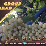 Top grade wholesale sweet fresh grape